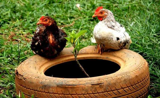 chickens-ani-chicken-bird